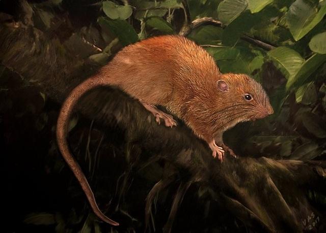 Phát hiện chuột khổng lồ có thể cắn vỡ quả dừa ở quần đảo Solomon - 1