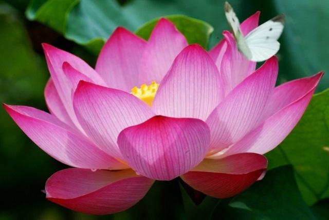 Hoa sen có hai màu trắng hoặc hồng, hình dáng mộc mạc nhưng hương thơm lại tươi mát, dịu dàng đến khó quên.