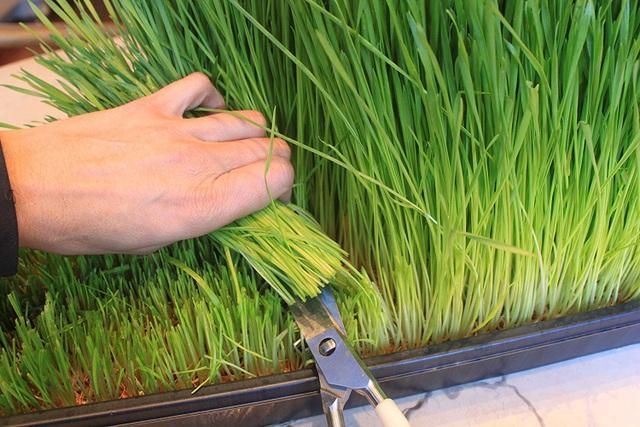 Cỏ lúa mì dễ trồng và thích ứng tốt với khí hậu Việt Nam. Sau 10 ngày gieo hạt là có thể thu hoạch ép nước uống. Ảnh: Amazon