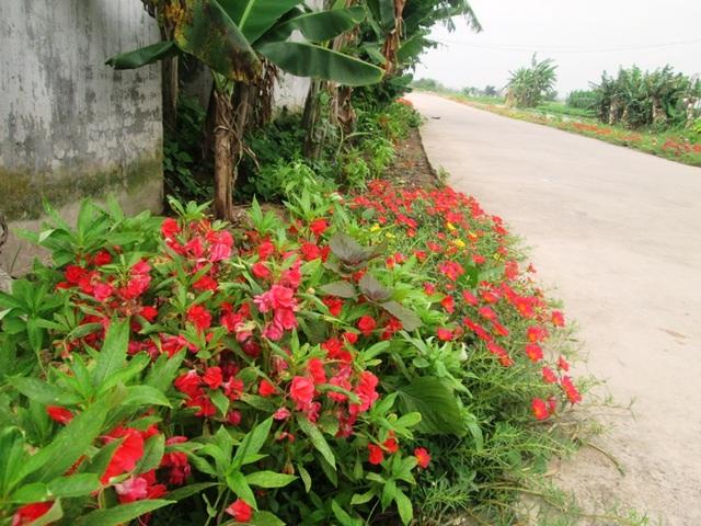 Đẹp ngỡ ngàng những con đường làng rực rỡ hoa mười giờ - 12