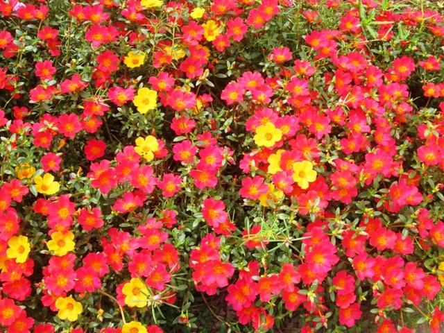 Cứ đến 10h sáng, những khóm hoa ven đường đua nhau nở rộ khiến nhiều người đi đường vô cùng thích thú