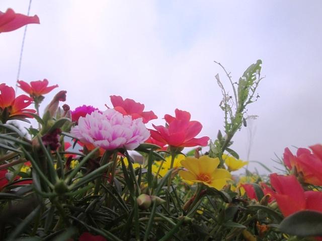 Đẹp ngỡ ngàng những con đường làng rực rỡ hoa mười giờ - 13