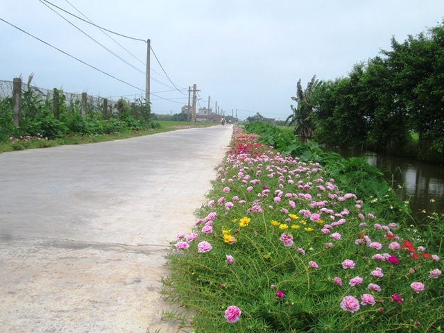 Đẹp ngỡ ngàng những con đường làng rực rỡ hoa mười giờ - 17