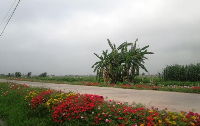 Hoa mười giờ ven đường bên cạnh những rặng chuối khiến nhiều người tìm thấy cảm giác bình yên ở vùng quê