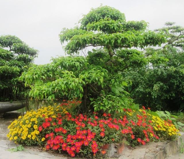 Nhiều gia đình còn trồng hoa mười giờ chung với cây cảnh ngay lối vào