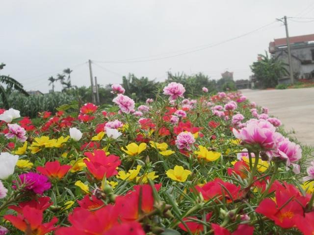 Đẹp ngỡ ngàng những con đường làng rực rỡ hoa mười giờ - 8