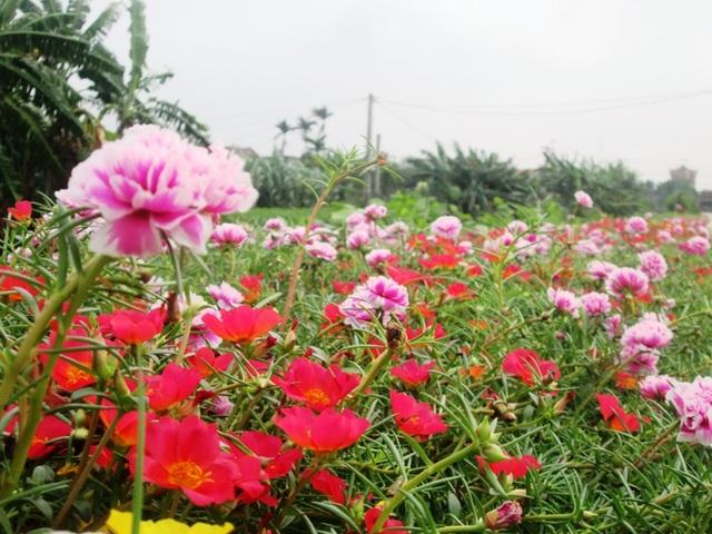 Đẹp ngỡ ngàng những con đường làng rực rỡ hoa mười giờ - 7