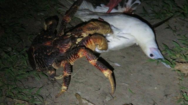 Rùng mình cảnh cua dừa tấn công và ăn thịt chim biển - 1