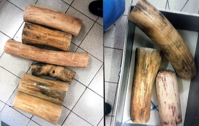 Ngà voi giả được làm bằng các khúc gỗ để thay thế.