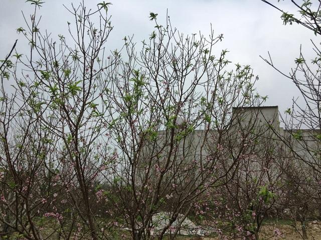 Thời tiết nắng ấm khiến nhiều cây đào bung nở sớm