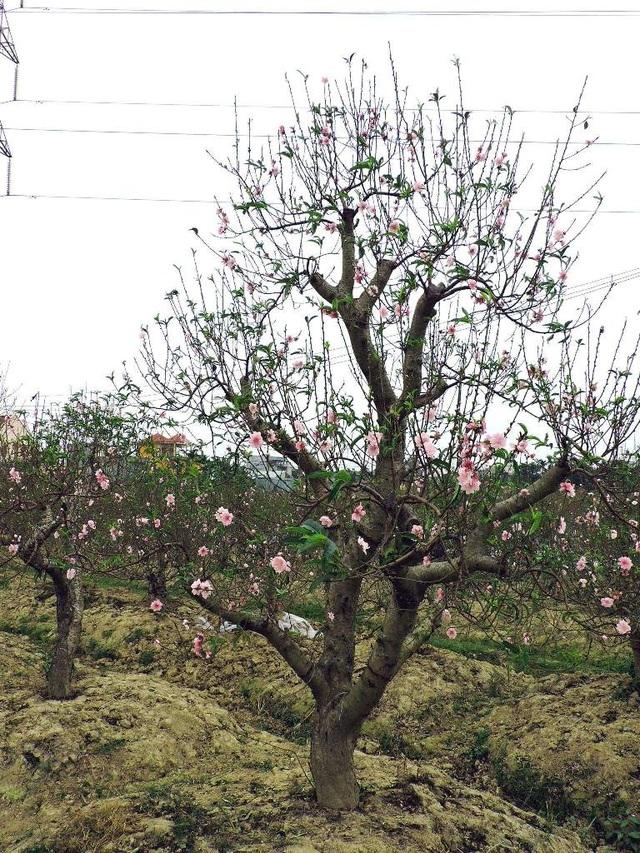 Những gốc đào cả trăm triệu không thể chờ đúng Tết vì hoa nở sớm
