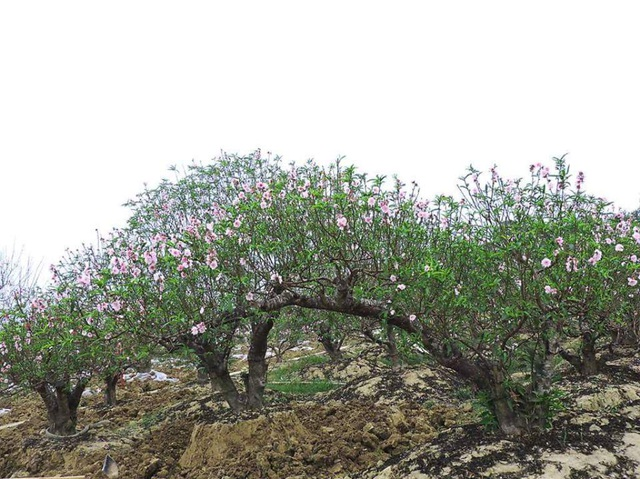 Đào thế trăm triệu bung nở, người trồng đào lo mất tết - 1