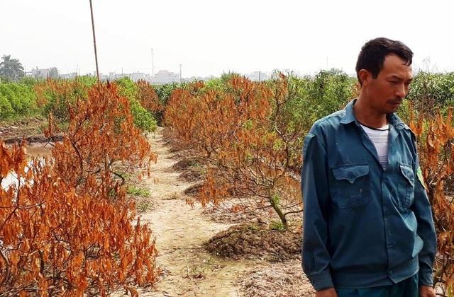 Người trồng đào khóc ròng trước nguy cơ một mùa vụ trắng tay