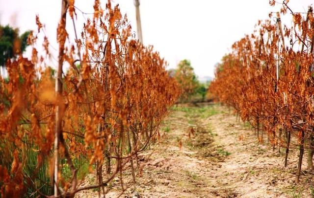 Vườn đào chuẩn bị dịp Tết Nguyên đán của người dân xã Minh Tân, huyện Đông Hưng chết vàng úa lá