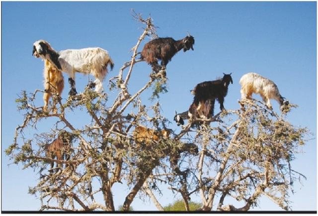 Dê leo cây ở Ma-rốc, nhai và phun nhổ hạt giống xuống mặt đất.