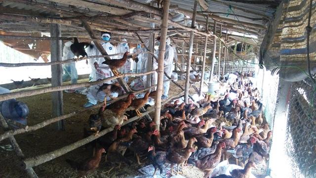 Mặc dù đã ghi nhận 7 ổ cúm A - H5N6 với 24.000 con gia cầm nhiễm bệnh, tỉnh QuảngNgaix vẫn chưa công bố dịch.