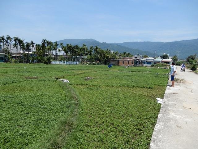 Diện tích trồng rau muống của người dân bị thu hồi để làm dự án