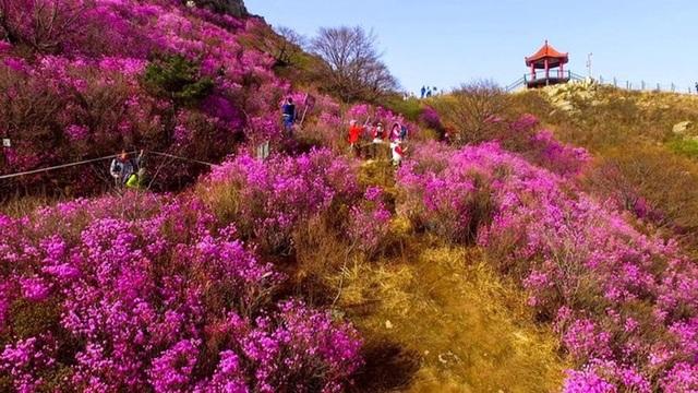 Hoa đỗ quyên nở rộ ở Trung Quốc