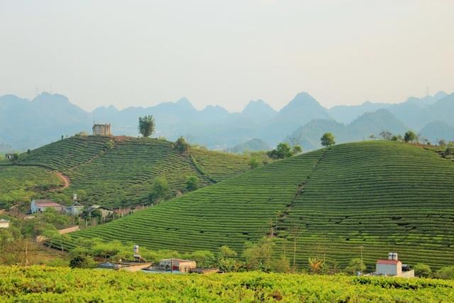Đồi chè xanh mướt trên thị trấn nông trường Mộc Châu.