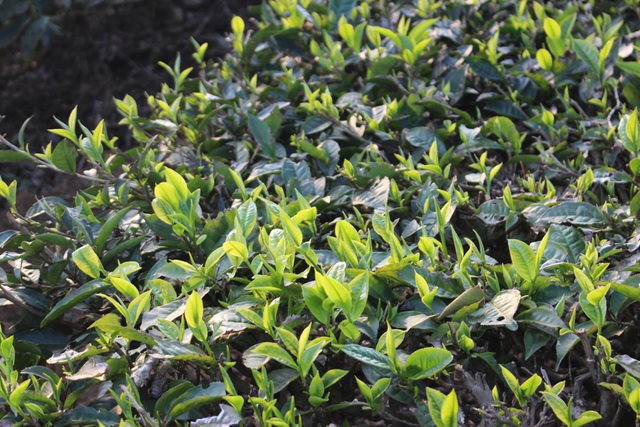 Cây chè được trồng từ năm 1956- 1957, tính ra cũng thuộc vào hàng cổ thụ.
