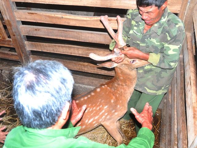Cuộc hái lộc nhung được tiến hành ngay sau khi khách ngã giá. Thường thì người chủ bước vào chuồng trước làm vài động tác thân quen rồi bất ngờ giữ chặt sừng hươu (lộc nhung).