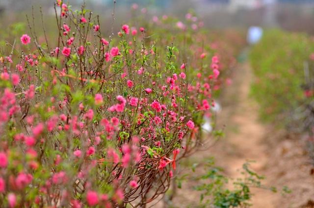 Thời điểm này, tại Nhật Tân - đất đào nổi tiếng ở Hà Nội, nhiều vườn tỷ lệ hoa nở đã lên tới 60 – 80%.