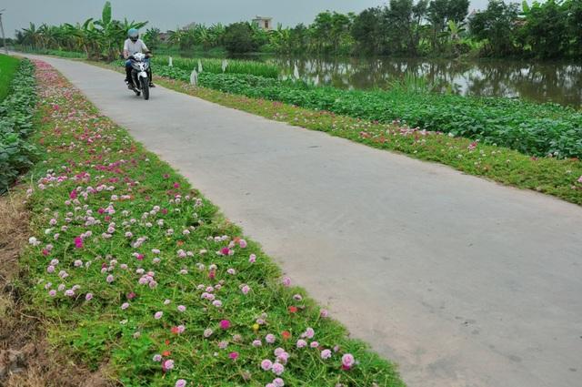 Chặng đường của người dân về nhà cũng trở nên ngắn hơn khi được nhìn những cánh đồng hoa mười giờ khoe sắc.