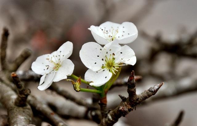 Thú chơi lê rừng mới xuất ở Hà Nội trong vài năm gần đây và nhanh chóng được nhiều người hưởng ứng. Những cánh hoa trắng muốt, thanh mảnh với mùi thơm dịu đặc trưng tạo ra sức hấp dẫn riêng cho loài hoa này.