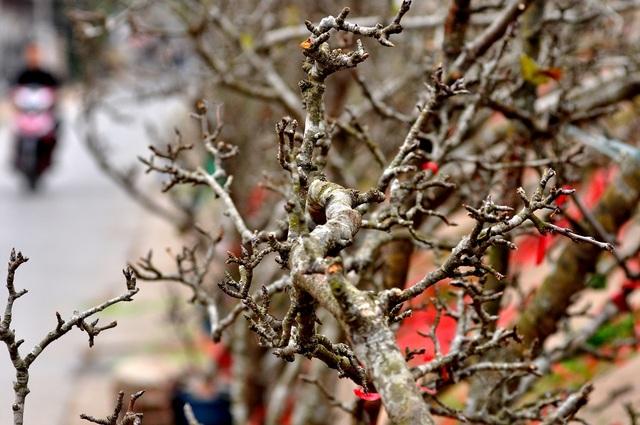 Thời điểm này lê rừng chưa ra hoa nhiều mà chủ yếu mới nảy nụ và lộc. Khác với những loài hoa khác, lê rừng có sức sống bền vì thế người chơi có thể trưng bày vài tháng mà không lo héo hay thối gốc.