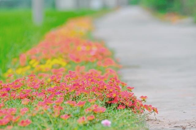 Những luống hoa khoe sắc rực rỡ bên đường