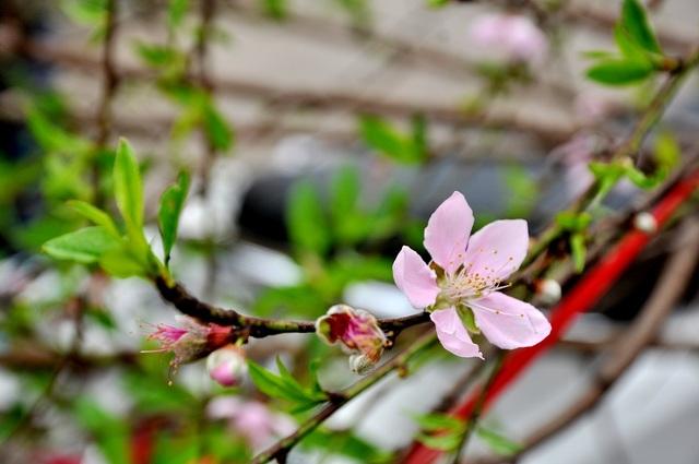 Đào rừng thường có thân to và mốc, cành hoa dày mang vẻ đẹp tự nhiên, xưa cũ. Theo những người bán hàng ở chợ Quảng An, đào rừng, đặc biệt đào phai thường phải sau Tết mới bung nở đẹp nhất. Vì thế nhiều người sành hoa thường chọn thời điểm này để mua hoa về chơi.