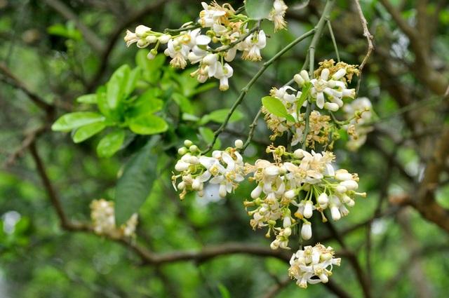Những chùm hoa trắng tinh khôi phủ tuyết trắng cả một góc vườn