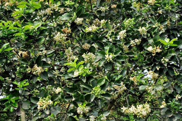 Mùa hoa bưởi về cũng là thời điểm chuyển giao giữa tháng, kết thúc cái se se lạnh của mùa xuân và báo hiệu mùa hè sắp về.
