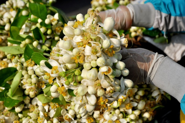 Hoa bưởi được bán theo cân với giá giao động từ 15 – 30 nghìn đồng/lạng. Riêng hoa đã rụng khỏi cành thì rẻ hơn với giá chỉ 10 nghìn đồng/lạng
