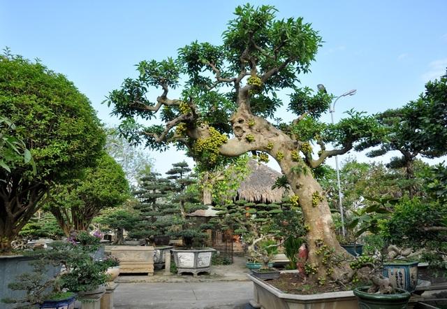 Cây sung có tuổi đời khoảng 70 năm, được ông Ngọ mua của một tay chơi sinh vật cảnh ở Hải Dương. Cây có dáng lão, cao khoảng 3m, từ ngọn vươn ra 5 cành nhánh trông khá đẹp mắt và ấn tượng.