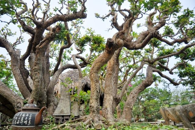 """Nổi tiếng nhất trong đó phải kể đến """"siêu cây"""" trâm vối từng được định giá lên tới 10 tỷ đồng. Cây có tuổi đời vài trăm năm, thân cây uốn lượn với 19 nhánh tựa như những con rồng đang bay lên khỏi mặt đất."""