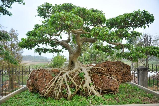 Cây sanh có bộ rễ mọc tự nhiên trên khối đá ong được định giá vào khoảng 100 triệu đồng.