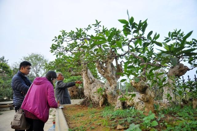 Một cây vối cổ thụ có hình dáng khá độc đáo. Cây có bộ rễ u bướu khá tự nhiên, 5 nhánh cây mọc lên tựa như những con rồng vươn lên khỏi mặt đất. Được biết giá của cây vối đặc biệt này cũng không dưới 300 triệu đồng.