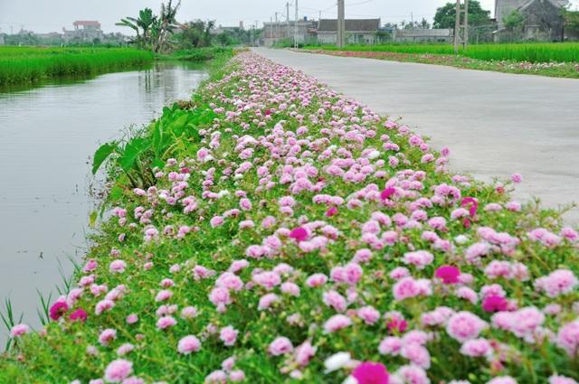 Con đường hoa mười giờ uốn lượn nổi bật giữa cánh đồng xanh