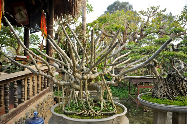 Một cây đại bonsai được đánh giá thuộc vào hàng hiếm có khó tìm. Cây có dáng long (rồng), từ gốc có hàng chục các tay cành đâm chồi, vươn lên.