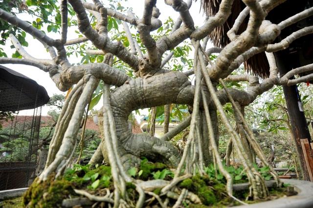 Vào hè, từ các ngọn cây mọc ra những chùm hoa đại trắng tỏa hương thơm dịu nhẹ, rất dễ chịu. Cây được ông Ngọ mua lại trong một cuộc triển lãm sinh vật cảnh với giá hơn 100 triệu đồng. Theo ông Ngọ, cây đại khá phổ biến trong tự nhiên nhưng đa phần là cây thân to, để tìm được một dáng bonsai với hình dáng lạ mắt, độc đáo như cây đại này thì rất hiếm. Hiện tại đã có khách trả giá 200 triệu đồng nhưng ông Ngọ chưa muốn bán mà muốn để lại chỉnh sửa cho hoàn thiện thêm.