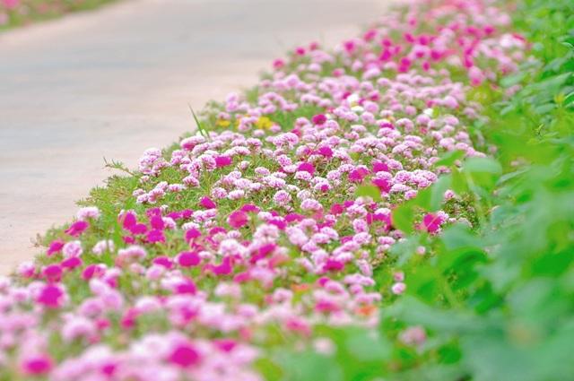 Trên con đường trục của xóm, hai bên đường được người dân làm sạch cỏ để trồng đủ các loại hoa mười giờ.