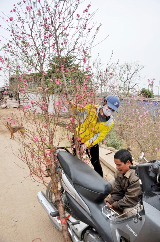 Trong khi đó, ông Vũ Huân (chủ vườn đào Nhật Tân) cũng buồn bã cho biết, hiện tại hơn 70% hoa đào tại vườn nhà ông đã bung nở. Từ 10 ngày nay, ông Huân cùng con gái đã phải cắt đào ra chợ Quảng An bán với hi vọng vớt vát được đồng nào hay đồng đó. Chủ vườn này dự đoán, nếu thời tiết nắng nóng kéo dài như hiện tại thì chỉ khoảng 23 tháng Chạp là đào tại các vườn bung nở hết.