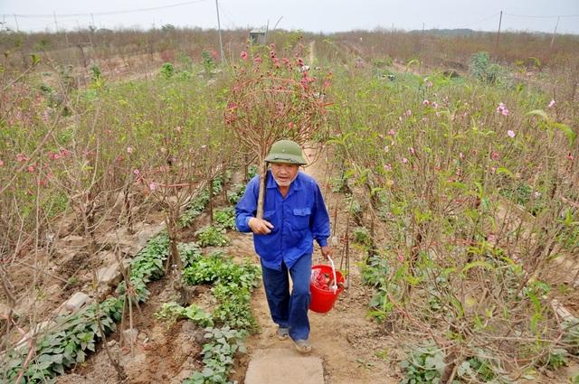 Nhiều chủ vườn chấp nhận tiến hành cắt đào bán sớm dù giá khá rẻ.