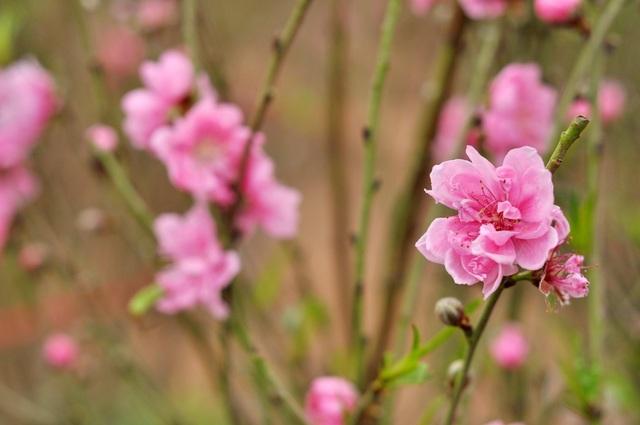 Lý giải về việc hoa đào nở sớm, nhiều chủ vườn cho biết nguyên nhân chính vẫn là do thời tiết diễn biến thất thường. Năm nay nền nhiệt cao hơn mọi năm, nắng nóng kéo dài khiến nhiều người không kịp trở tay dù đã tìm mọi cách để hãm đào.