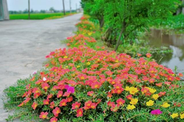Đường hoa mười giờ ở xã Hải Lộc. Là một trong những xã đạt tiêu chuẩn nông thôn mới của huyện Hải Hậu, xã Hải Lộc hiện có 100% hệ thống đường ngõ bê tông sạch sẽ.