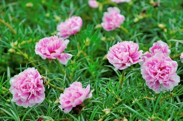 Hoa mười giờ được trồng khá phổ biến ở Việt Nam, tuy nhiên đây là lần đầu ý tưởng về việc trồng hoa phủ kín các con đường liên xã được thực hiện. Nhiều người ví đây là đường hoa mười giờ đẹp nhất Việt Nam.