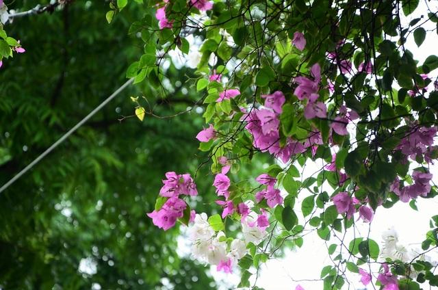 Những giàn hoa giấy nở hoa rực lên cả một góc trời.