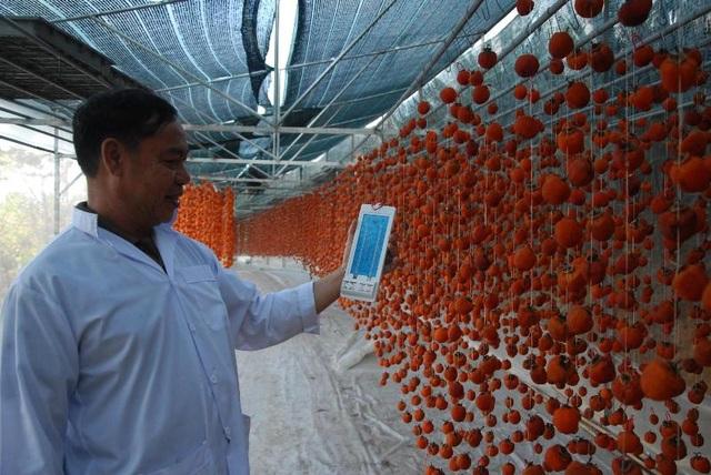 Trong nhà sấy hồng luôn được duy trì mức nhiệt độ từ 25 - 30 độ C và độ ẩm khoảng 50% (các cơ sở phải dùng máy đo nhiệt độ để kịp thời điều chỉnh nhiệt độ và độ ẩm cho trái hồng) sau khoảng 3 tuần trái hồng sẽ từ từ khô lại và vẫn giữ được vị ngọt tự nhiên