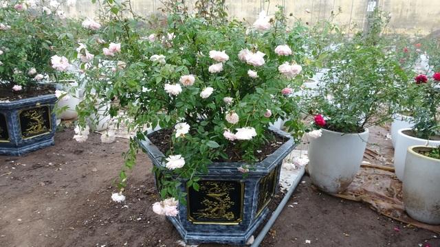 Ngoài những loại hoa hồng quý hiếm được ông Hùng sưu tập, nhân giống từ khắp mọi nơi, khu vườn của ông Hùng còn có nhiều loại cây quý được ông bảo tồn, chăm sóc
